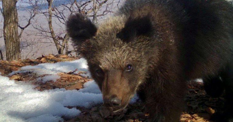 Медведица срекордным выводком угодила вфотоловушку вПриморье— Косолапый детсад