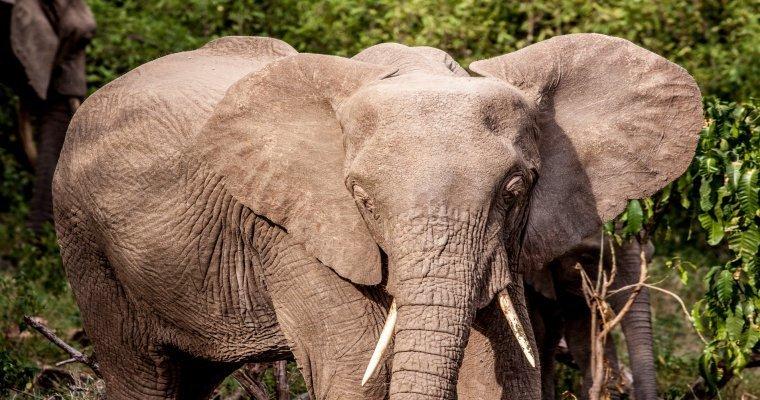 ВТаиланде житель россии чудом спасся отвзбесившегося слона