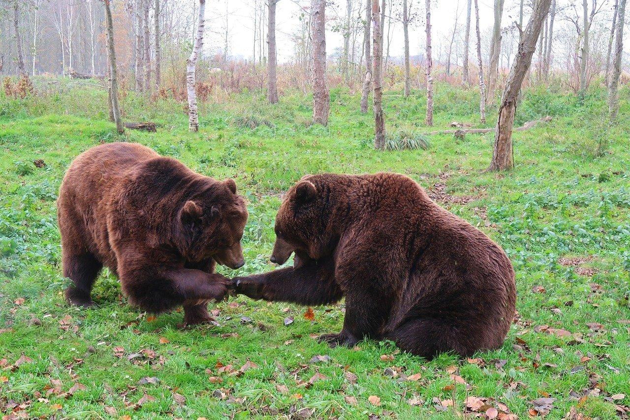Два медведя насмерть загрызли 11-летнего мальчика в Сочи