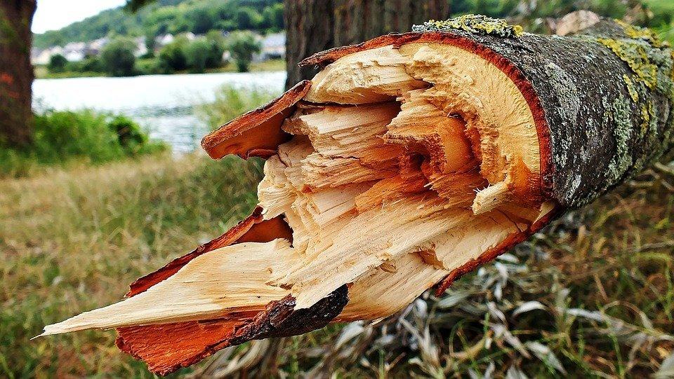 ВСША рухнуло посаженное Джорджем Вашингтоном 227-летнее дерево