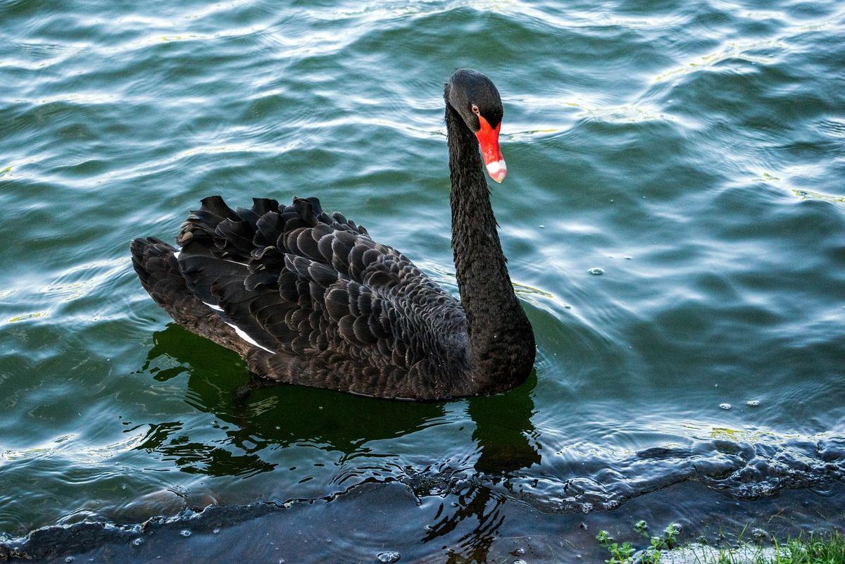 цвету черные лебеди в австралии фото если