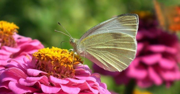Германские ученые узнали, чем питались бабочки допоявления цветов