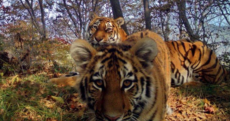 Тигриное семейство устроило «фотосессию» натерритории «Земли леопарда»