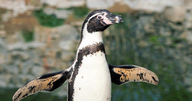 ВЧили из-за пингвинов Гумбольдта запретили добывать железо имедь