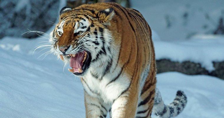 Амурский тигр убил сборщика кедровых шишек вХабаровском крае