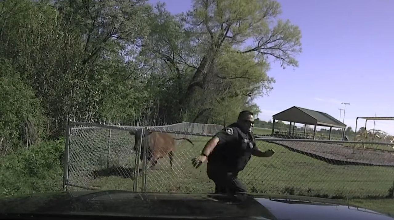 Размещено видео сосбежавшей от милиции коровой