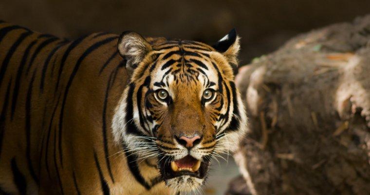 Милиция  Приморья проверяет видео, накотором тигра выгуливают на береге