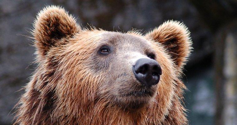 Медведь наКамчатке пытался вскрыть машину наглазах возмущенного владельца