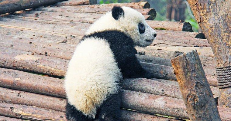 Панда, скоторой туристам вСочи предлагали сделать фото, оказалась щенком